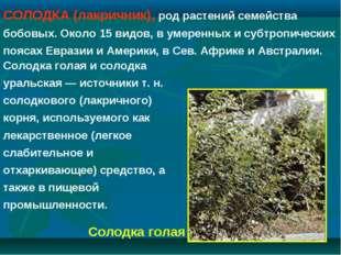 СОЛОДКА (лакричник), род растений семейства бобовых. Около 15 видов, в умерен