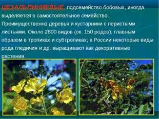 ЦЕЗАЛЬПИНИЕВЫЕ, подсемейство бобовых, иногда выделяется в самостоятельное сем