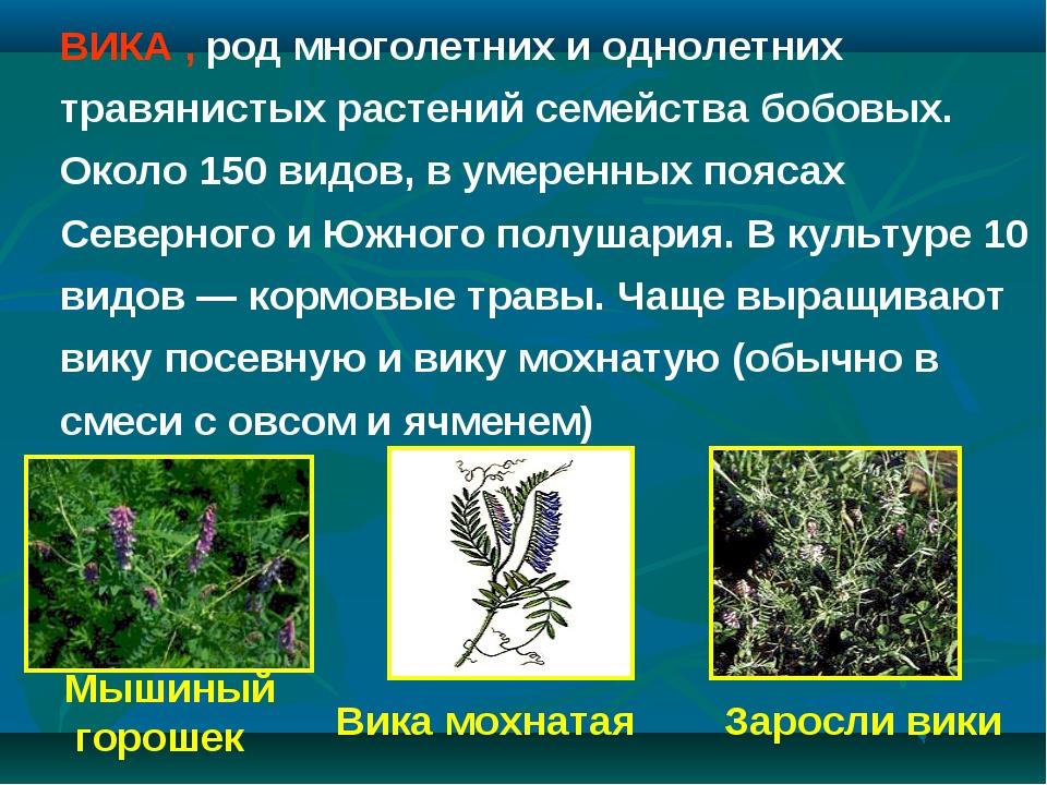 Заросли вики Мышиный горошек Вика мохнатая ВИКА , род многолетних и однолетни...