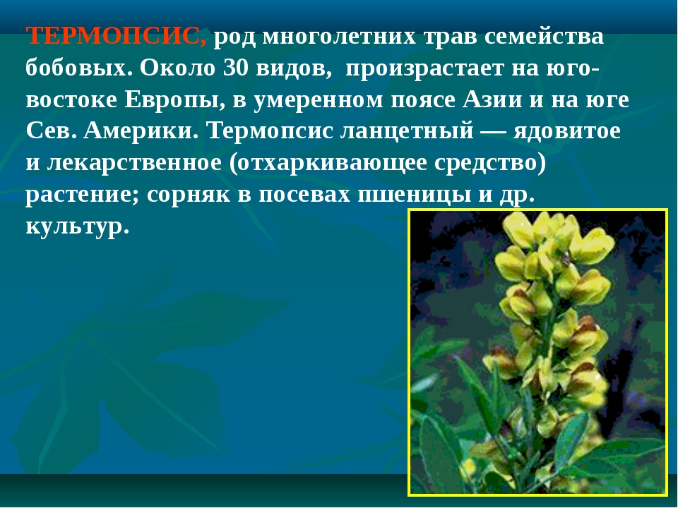 ТЕРМОПСИС, род многолетних трав семейства бобовых. Около 30 видов, произраста...