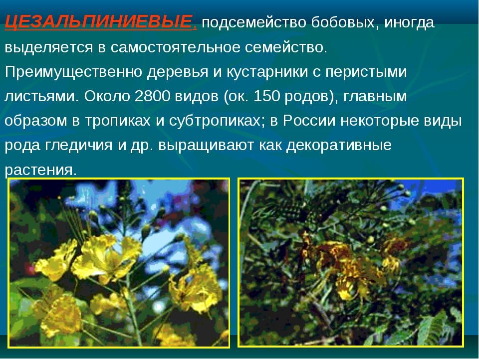 ЦЕЗАЛЬПИНИЕВЫЕ, подсемейство бобовых, иногда выделяется в самостоятельное сем...