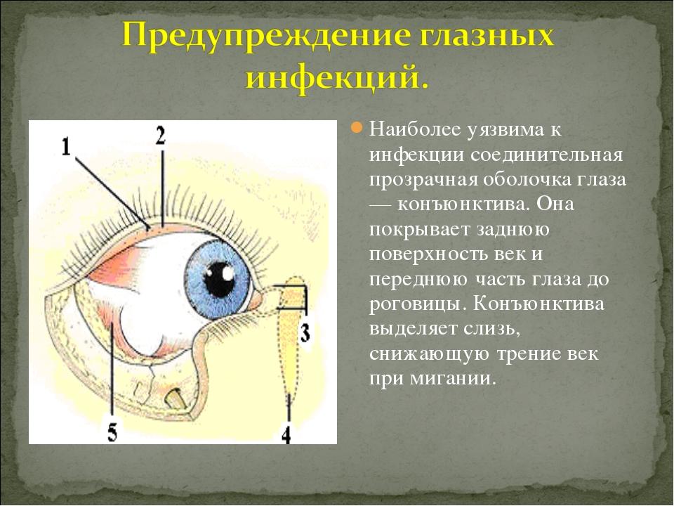 Наиболее уязвима к инфекции соединительная прозрачная оболочка глаза — конъюн...