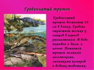 Гребенчатый тритон Гребенчатый тритон достигает 18 см в длину. Гребень отраст