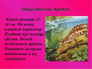 Обыкновенный тритон Имеет размеры 13-14 см. На ногах имеются перепонки. Плава