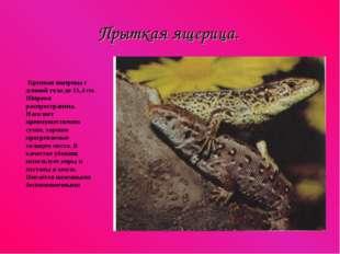 Прыткая ящерица. Крупная ящерица с длиной тела до 11,4 см. Широко распростран