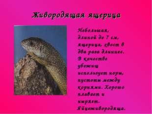 Живородящая ящерица Небольшая, длиной до 7 см, ящерица, хвост в два раза длин