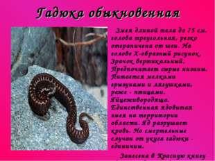 Гадюка обыкновенная Змея длиной тела до 75 см. голова треугольная, резко отгр