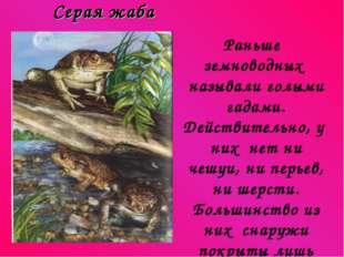 Серая жаба Раньше земноводных называли голыми гадами. Действительно, у них н