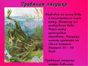 Травяная лягушка Амфибии не пьют воду, а поглощают ее через кожу. Поэтому им