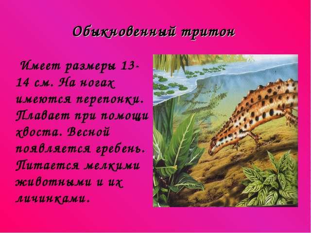 Обыкновенный тритон Имеет размеры 13-14 см. На ногах имеются перепонки. Плава...