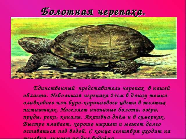 Болотная черепаха. Единственный представитель черепах в нашей области. Неболь...