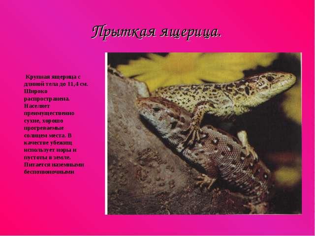 Прыткая ящерица. Крупная ящерица с длиной тела до 11,4 см. Широко распростран...