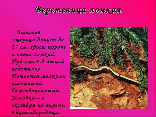 Веретеница ломкая Безногая ящерица длиной до 27 см, хвост короче и очень ломк...