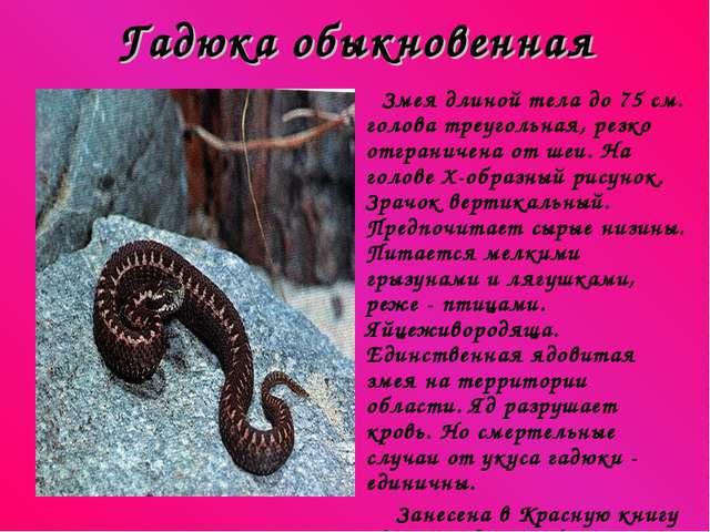 Гадюка обыкновенная Змея длиной тела до 75 см. голова треугольная, резко отгр...