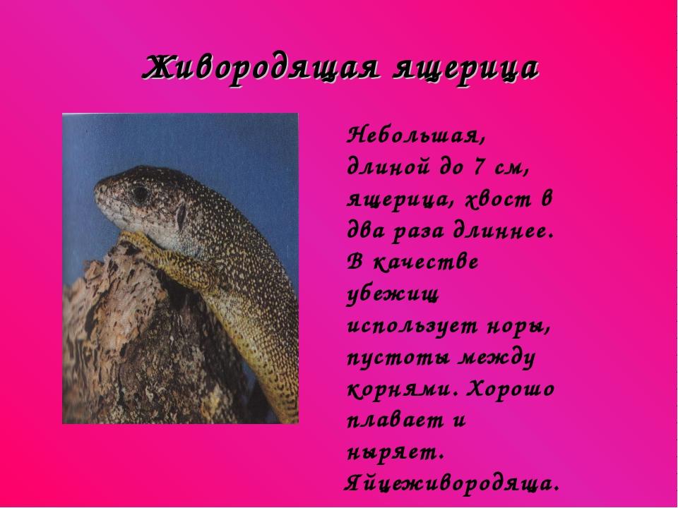 Живородящая ящерица Небольшая, длиной до 7 см, ящерица, хвост в два раза длин...