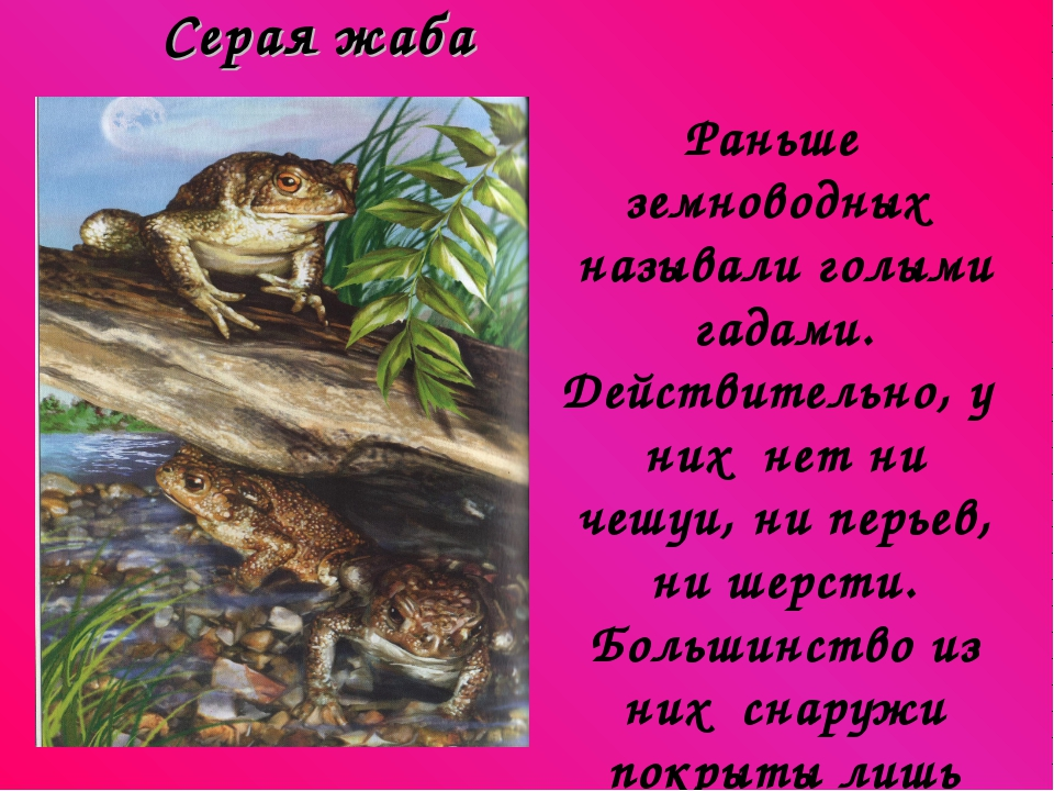 Серая жаба Раньше земноводных называли голыми гадами. Действительно, у них н...