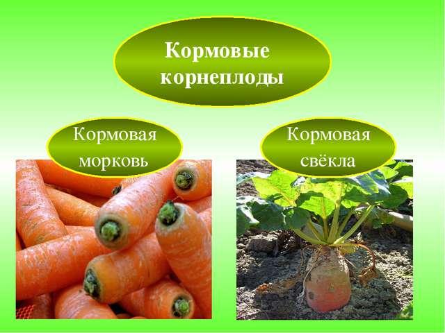 Кормовые корнеплоды Кормовая морковь Кормовая свёкла