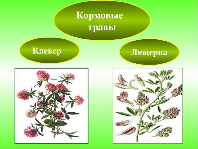 Кормовые травы Клевер Люцерна