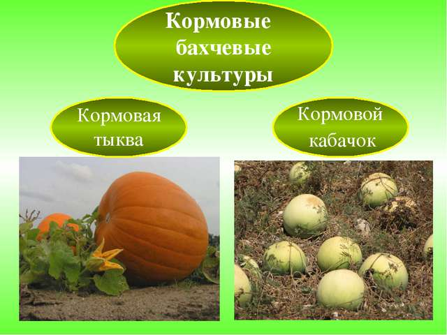 Кормовые бахчевые культуры Кормовая тыква Кормовой кабачок