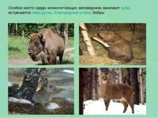 Особое место среди млекопитающих заповедника занимает зубр, встречается заяц-