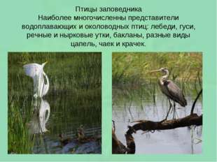 Птицы заповедника Наиболее многочисленны представители водоплавающих и околов