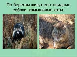 По берегам живут енотовидные собаки, камышовые коты.