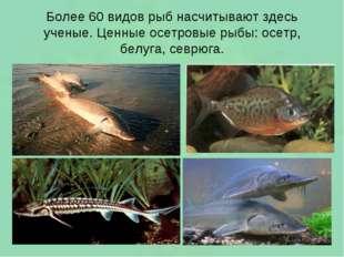 Более 60 видов рыб насчитывают здесь ученые. Ценные осетровые рыбы: осетр, бе