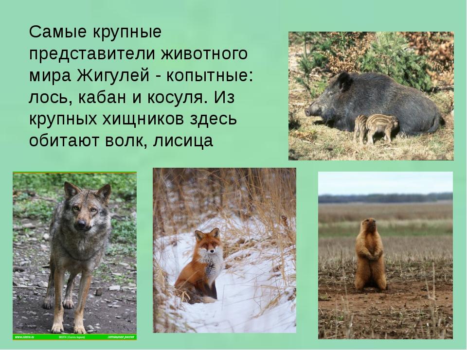 Самые крупные представители животного мира Жигулей - копытные: лось, кабан и...