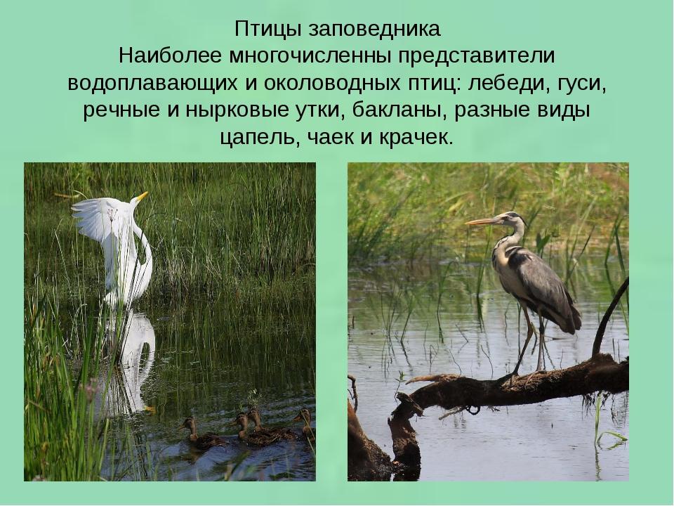 Птицы заповедника Наиболее многочисленны представители водоплавающих и околов...