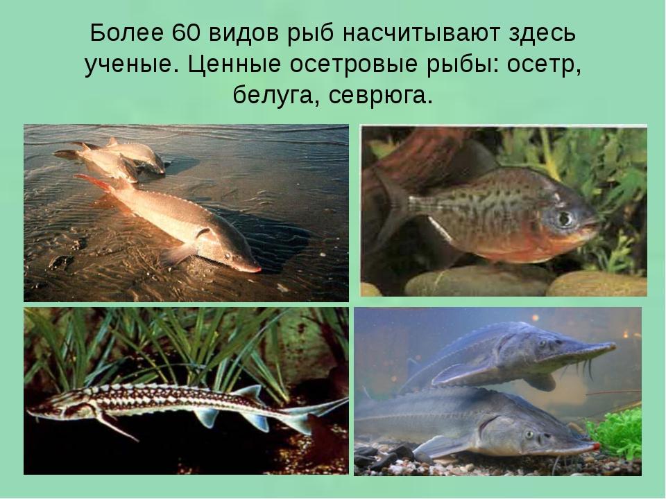 Более 60 видов рыб насчитывают здесь ученые. Ценные осетровые рыбы: осетр, бе...