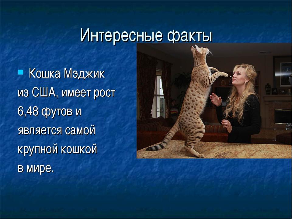 Интересные факты Кошка Мэджик из США, имеет рост 6,48 футов и является самой...