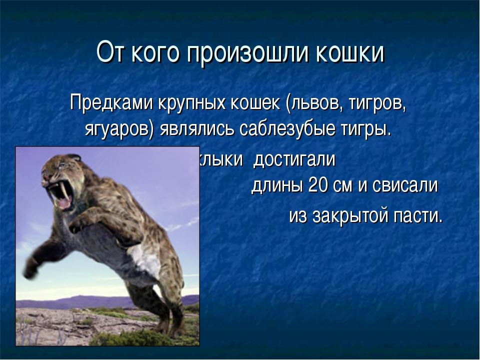 От кого произошли кошки Предками крупных кошек (львов, тигров, ягуаров) являл...