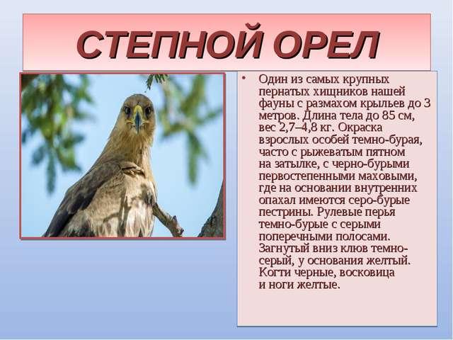 СТЕПНОЙ ОРЕЛ Один изсамых крупных пернатых хищников нашей фауны сразмахом к...