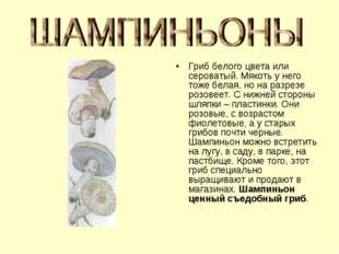 Гриб белого цвета или сероватый. Мякоть у него тоже белая, но на разрезе розо