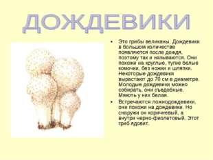 Это грибы великаны. Дождевики в большом количестве появляются после дождя, по