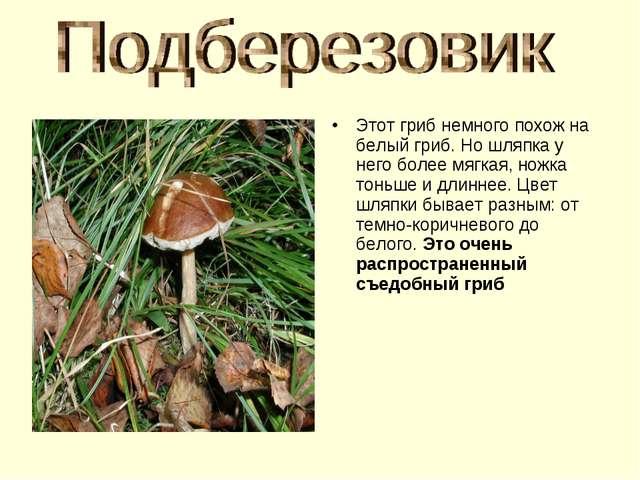 Этот гриб немного похож на белый гриб. Но шляпка у него более мягкая, ножка т...