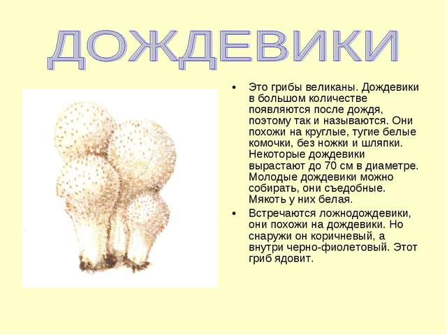 Это грибы великаны. Дождевики в большом количестве появляются после дождя, по...