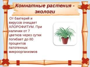 Комнатные растения - экологи Отбактерий и вирусовочищает ХЛОРОФИТУМ. При на