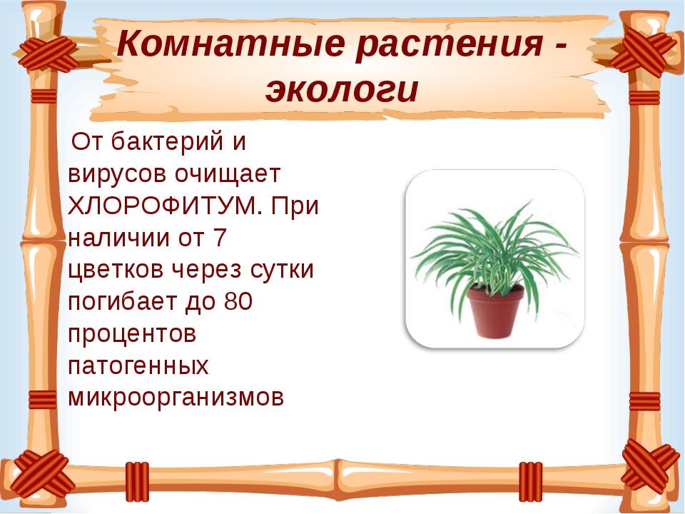 Комнатные растения - экологи Отбактерий и вирусовочищает ХЛОРОФИТУМ. При на...