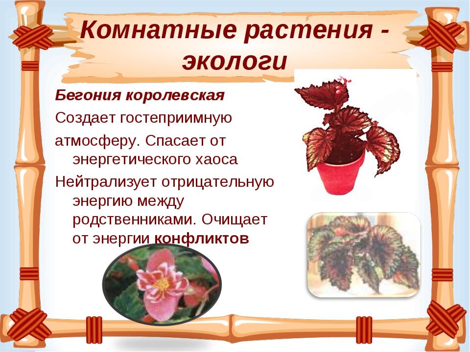 Комнатные растения - экологи Бегония королевская Создаетгостеприимную атмо...