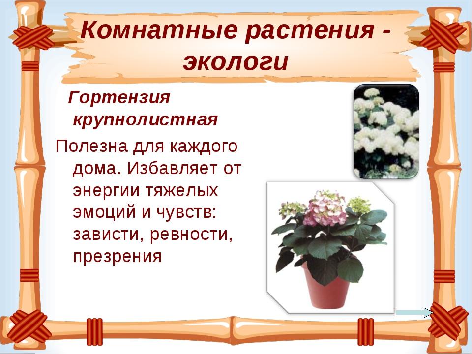 Комнатные растения - экологи Гортензия крупнолистная Полезнадля каждого дома...