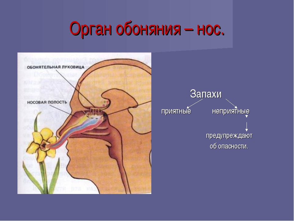 Орган обоняния – нос. Запахи приятные неприятные предупреждают об опасности.