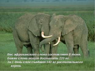 Вес африканского слона составляет 8 тонн. Бивни слона могут достигать 220 кг.