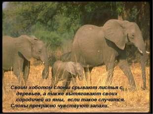 Своим хоботом слоны срывают листья с деревьев, а также вытягивают своих сород