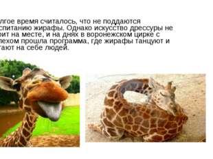 Долгое время считалось, что не поддаются воспитанию жирафы. Однако искусство