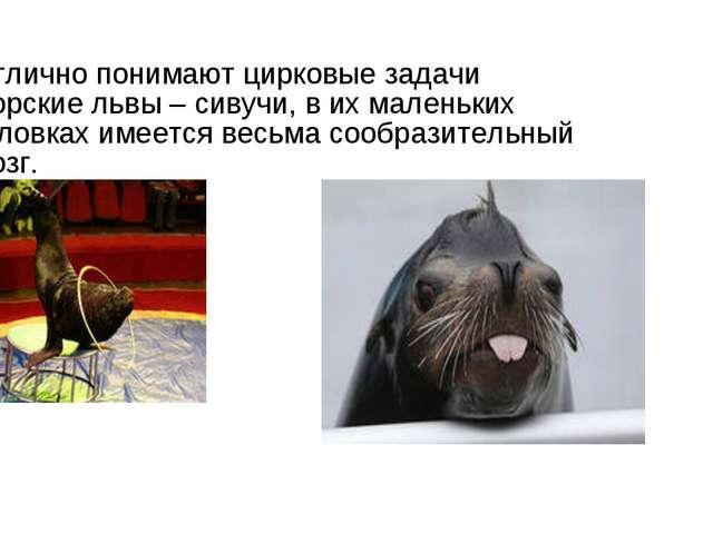 Отлично понимают цирковые задачи морские львы – сивучи, в их маленьких головк...