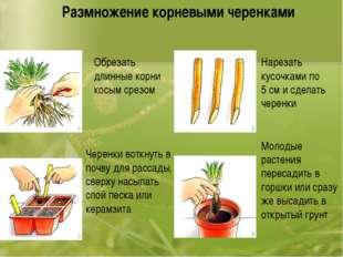 Размножение корневыми черенками Обрезать длинные корни косым срезом Нарезать