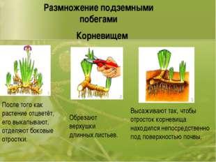 После того как растение отцветёт, его выкапывают, отделяют боковые отростки.