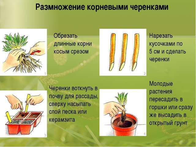 Размножение корневыми черенками Обрезать длинные корни косым срезом Нарезать...
