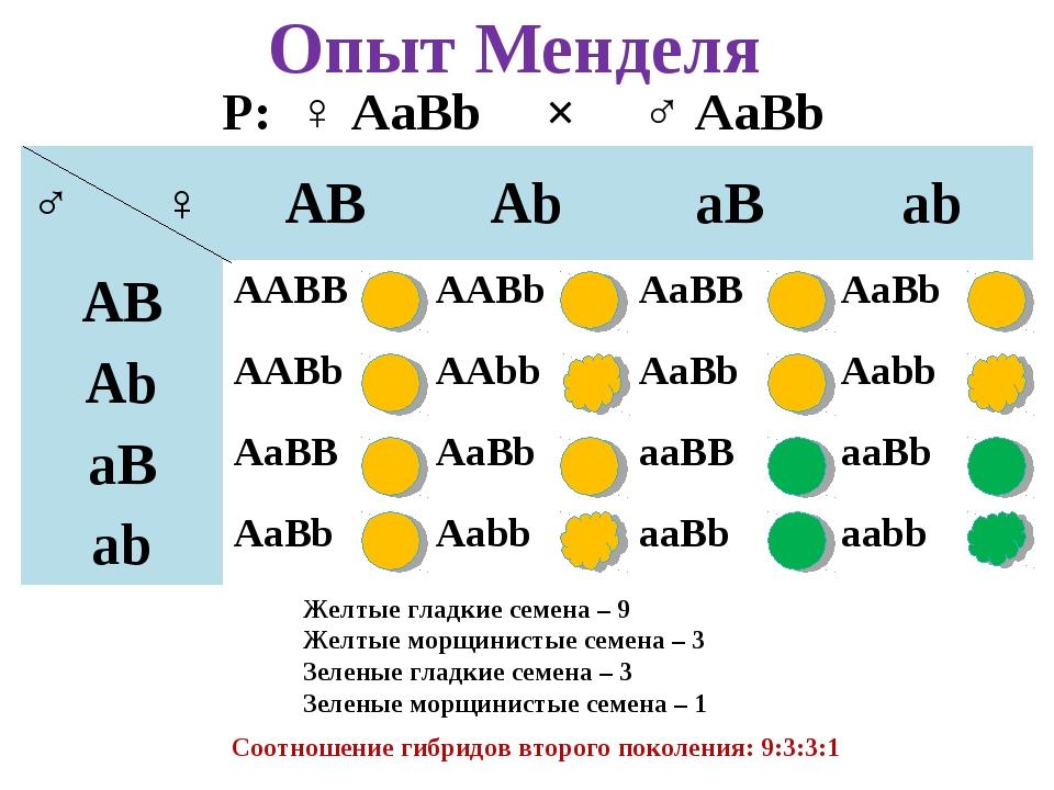 Опыт Менделя Р: ♀ AaBb × ♂ AaBb Желтые гладкие семена – 9 Желтые морщинистые...